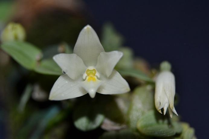 Constantia cipoensis Consta11