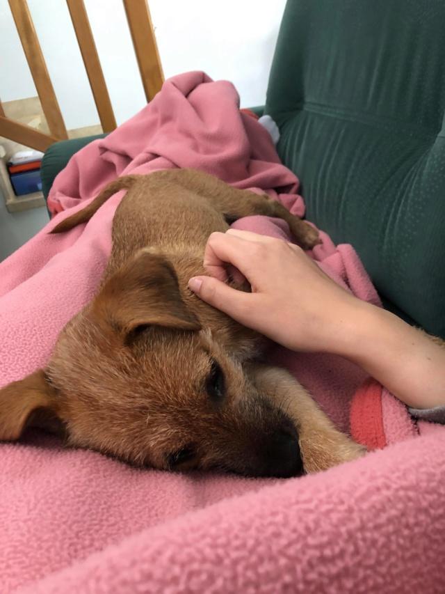 PINKY née le 01/01/2019 - F - Adoptée département 87 Pinky12