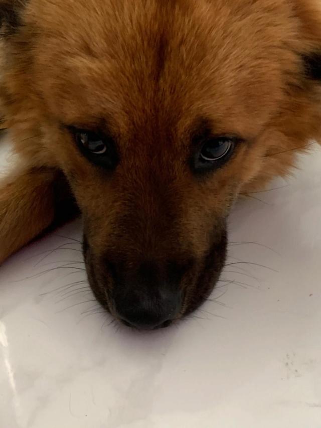WOOLFY renommé KENZO né le 15/05/2016 - M - Adopté Ile de la Réunion Wolfy10