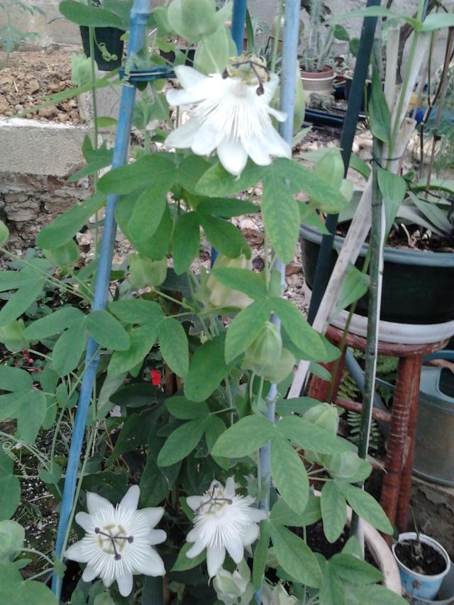 floraisons et évolutions  Photo042