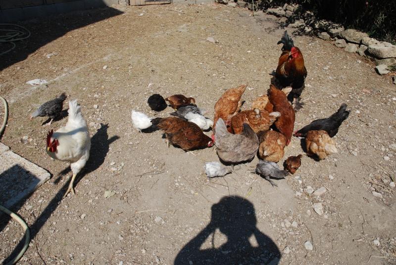 deux coqs très courtois avec leur poulettes Dsc_9823