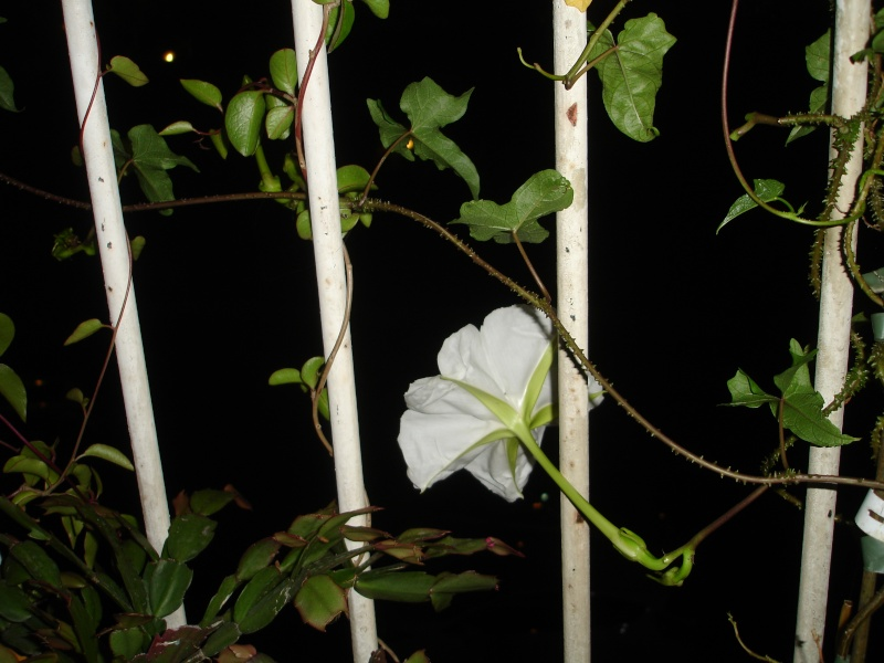 Ipomoea alba Fleur_11