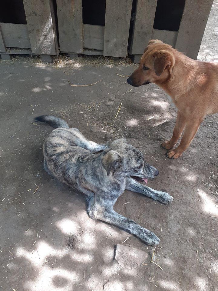 choupy - CHOUPY mâle né en Juin 2019 portée de 5 trouvés par Lénuta en septembre 2019- marrainé par Réglisse -R- 10065512