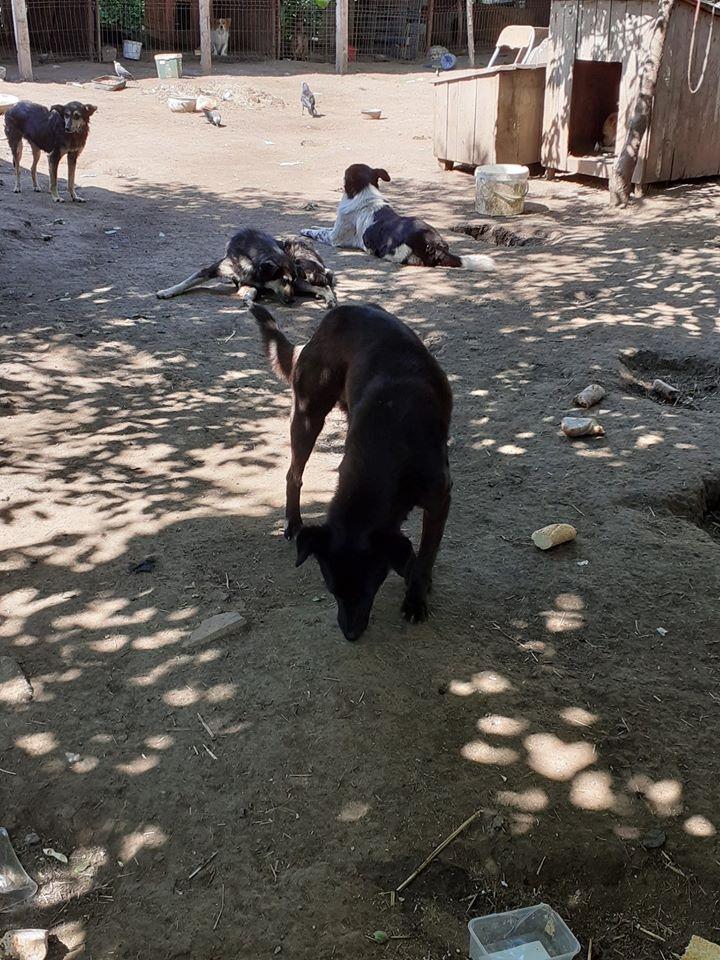 MAMBO, mâle croisé berger né mi Juin 2016 - SAUVE ÉQUARRISSAGE DE PALLADY - PARRAINE CORINA59 -R-SOS-SC - Page 2 10092811