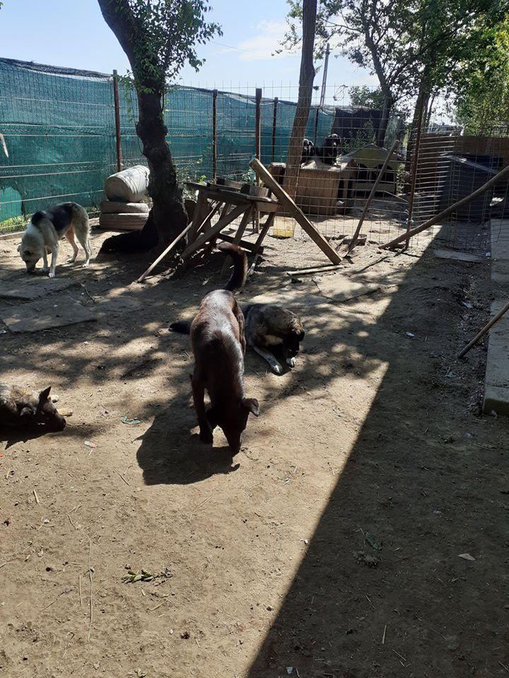 MAMBO, mâle croisé berger né mi Juin 2016 - SAUVE ÉQUARRISSAGE DE PALLADY - PARRAINE CORINA59 -R-SOS-SC - Page 2 10185711