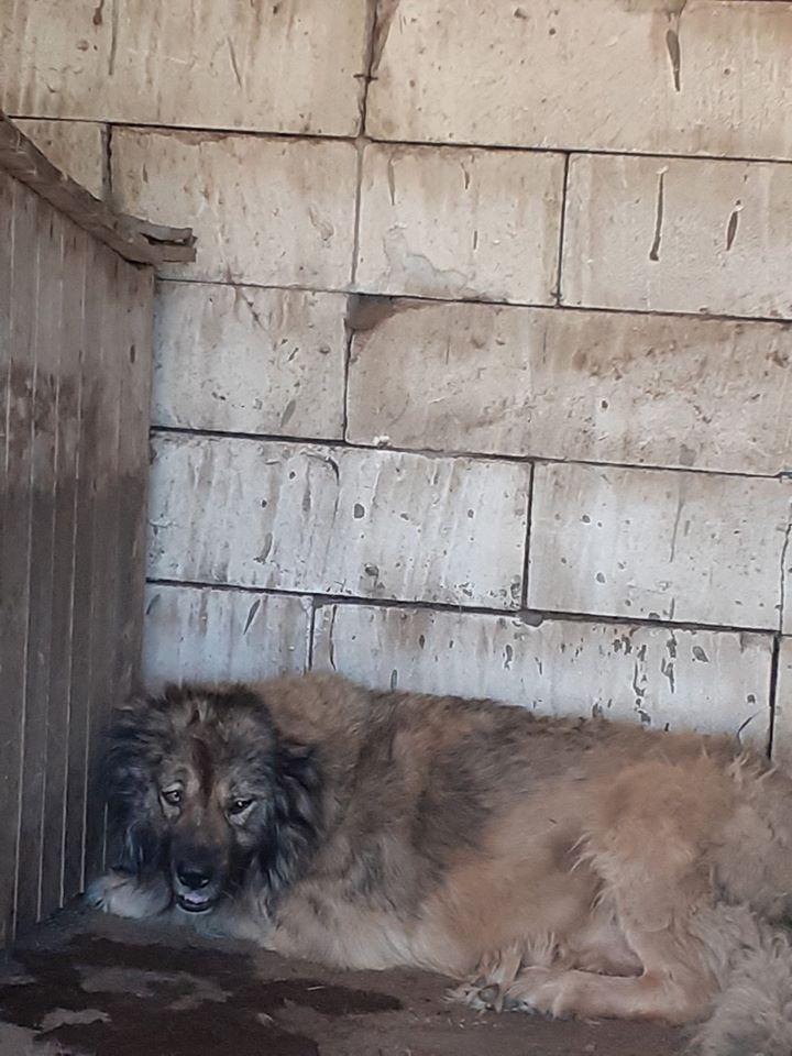 Athila - Né en 2016 - type berger des Carpathes - Parrainé par Sylvie H. -SC-R-SOS 10829410