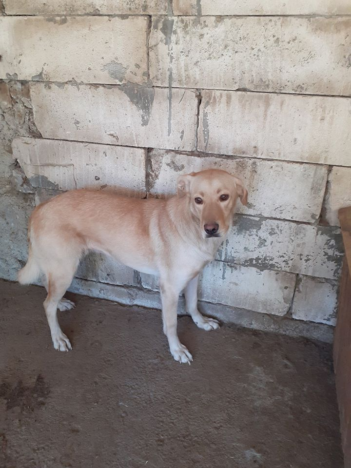 ELINA, femelle née en 2016, type Labrador sortie de l'équarrissage le 10 Avril- marrainée par Roxinette -R-SC-SOS 10846010