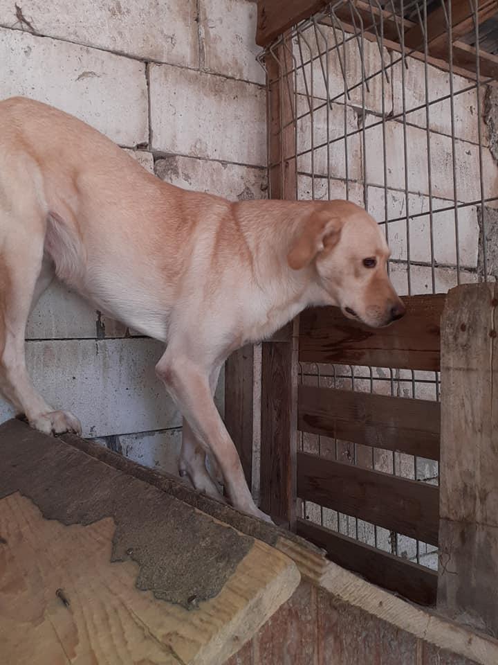 ELINA, femelle née en 2016, type Labrador sortie de l'équarrissage le 10 Avril- marrainée par Roxinette -R-SC-SOS 11857910