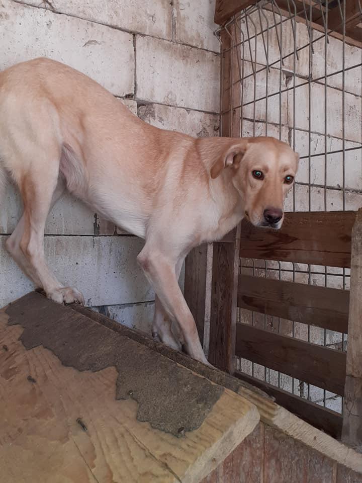 ELINA, femelle née en 2016, type Labrador sortie de l'équarrissage le 10 Avril- marrainée par Roxinette -R-SC-SOS 11865410