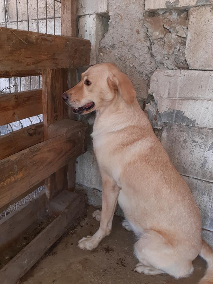 ELINA, femelle née en 2016, type Labrador sortie de l'équarrissage le 10 Avril- marrainée par Roxinette -R-SC-SOS 11869211