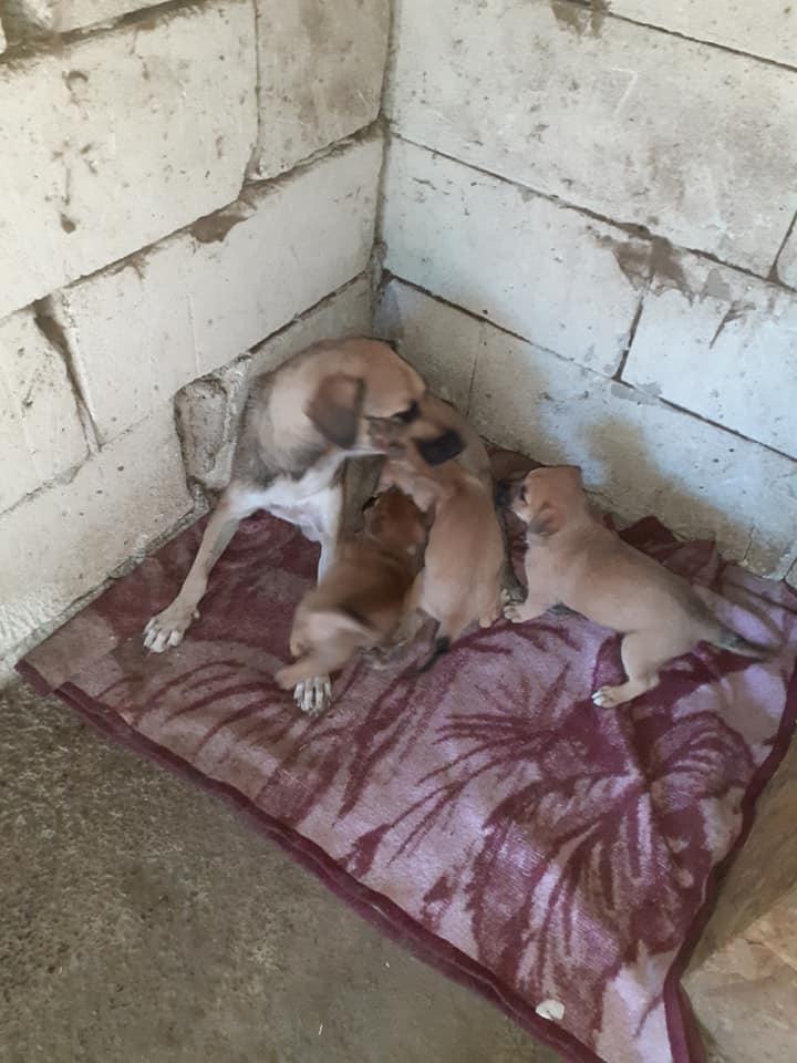 Manisha - MANISHA née en 2018 - maman et ses 3 chiots sauvés de Mihailesti le 20/08/2020 - parrrainée par Coco65-R-SC-SOS 11895112