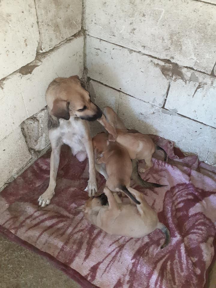 Manisha - MANISHA née en 2018 - maman et ses 3 chiots sauvés de Mihailesti le 20/08/2020 - parrrainée par Coco65-R-SC-SOS 11895210