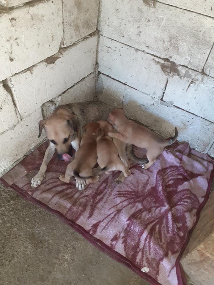 Manisha - MANISHA née en 2018 - maman et ses 3 chiots sauvés de Mihailesti le 20/08/2020 - parrrainée par Coco65-R-SC-SOS 11896112