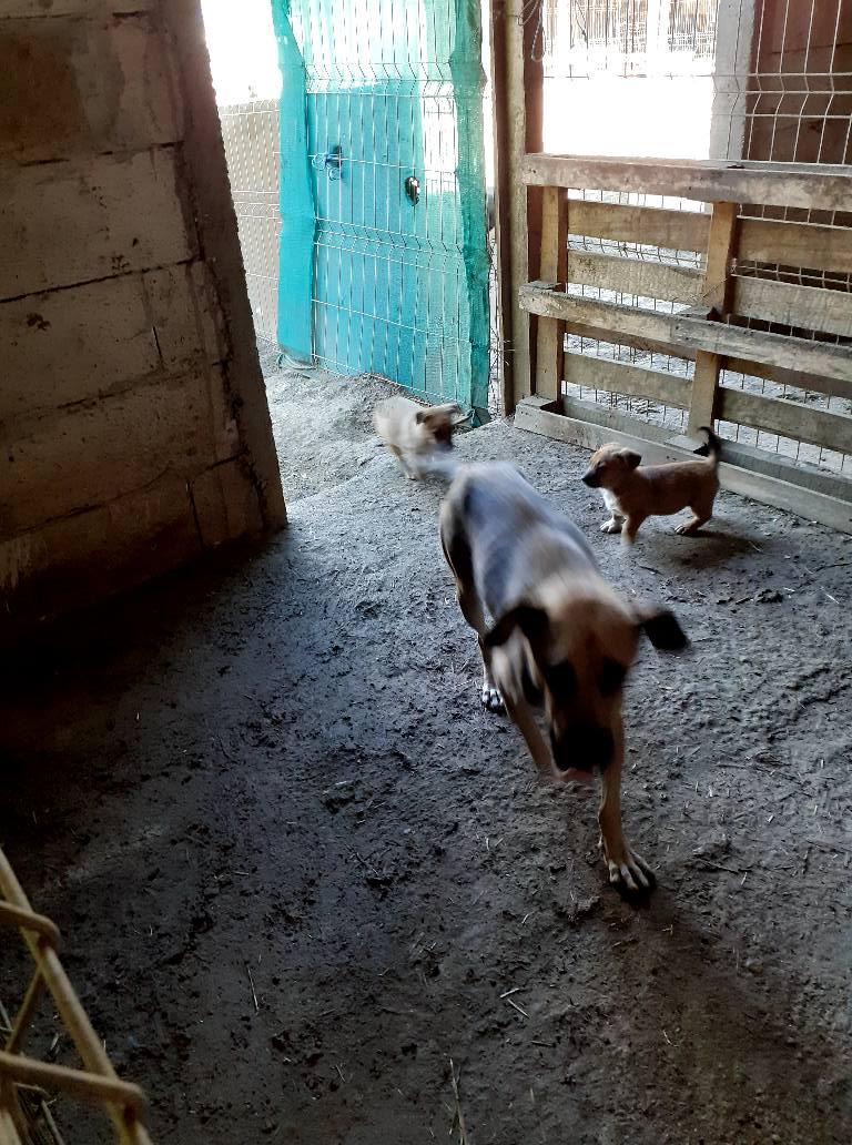 Manisha - MANISHA née en 2018 - maman et ses 3 chiots sauvés de Mihailesti le 20/08/2020 - parrrainée par Coco65-R-SC-SOS 11951011