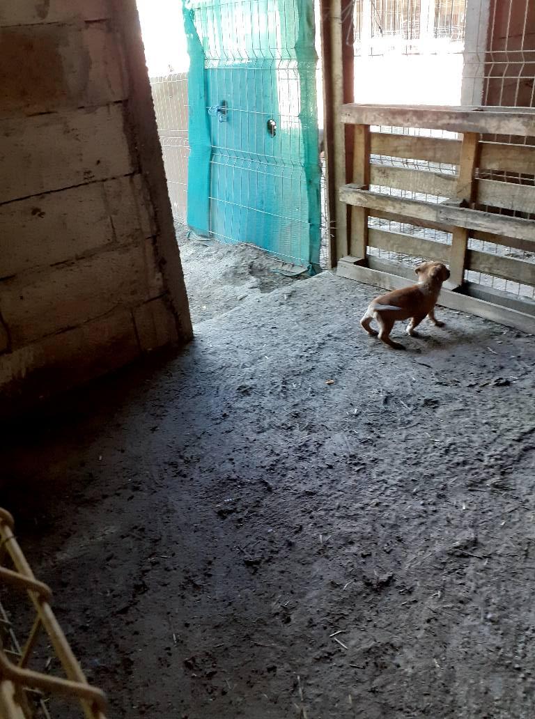 Manisha - MANISHA née en 2018 - maman et ses 3 chiots sauvés de Mihailesti le 20/08/2020 - parrrainée par Coco65-R-SC-SOS 11952211