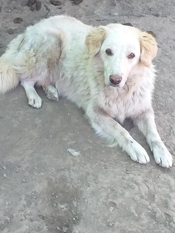 BALANUCH, mâle croisé berger sauvé de Pallady, né en 2009 parrainé par Nathalie G. -Gage Coeur  Myri_Bonnie-SC-R-SOS- - Page 3 12000413