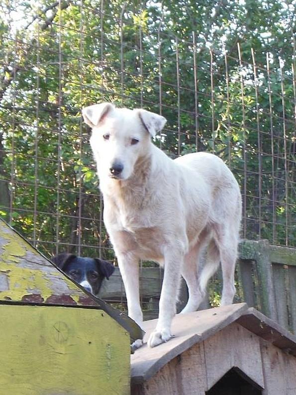DULCE - Magnifique femelle Blanche - née en 2009 - Parrainée par Samie -SOS-FB-R-SC-  - Page 3 2211010