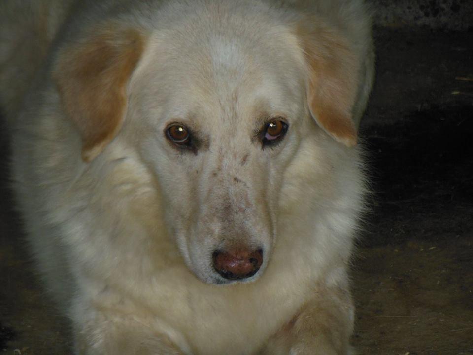 BALANUCH, mâle croisé berger sauvé de Pallady, né en 2009 parrainé par Nathalie Gamblin-SC-R-SOS- - Page 2 34605910
