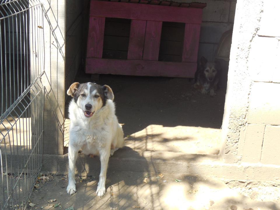 BONI -  x berger  10 ans  (en box depuis 7 ans)  Asso Arche d'Eternité - Lenuta (Roumanie) 39467210