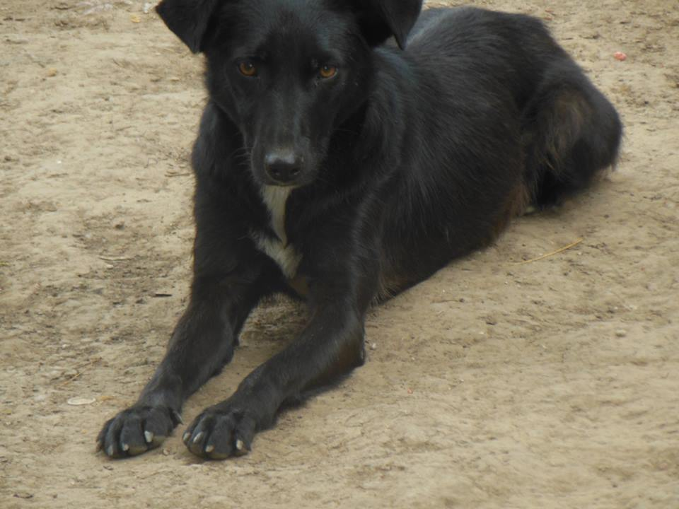MAMBO, mâle croisé berger né mi Juin 2016 - SAUVE ÉQUARRISSAGE DE PALLADY - PARRAINE CORINA59 -R-SOS-SC 41667110
