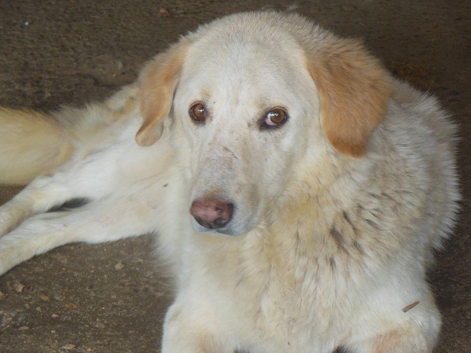 BALANUCH, mâle croisé berger sauvé de Pallady, né en 2009 parrainé par Nathalie Gamblin-SC-R-SOS- - Page 2 41669213