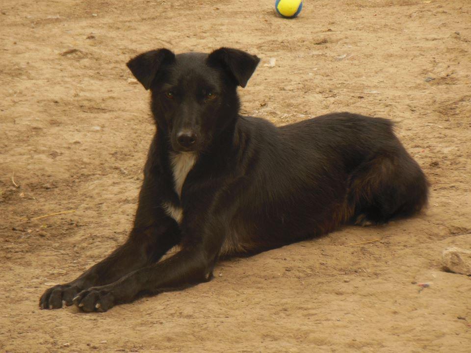 MAMBO, mâle croisé berger né mi Juin 2016 - SAUVE ÉQUARRISSAGE DE PALLADY - PARRAINE CORINA59 -R-SOS-SC 41797110