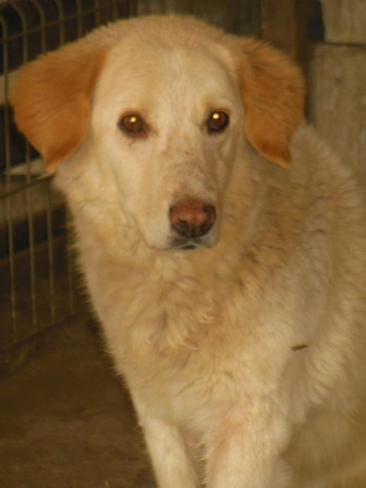 BALANUCH, mâle croisé berger sauvé de Pallady, né en 2009 parrainé par Nathalie Gamblin-SC-R-SOS- - Page 2 41853310