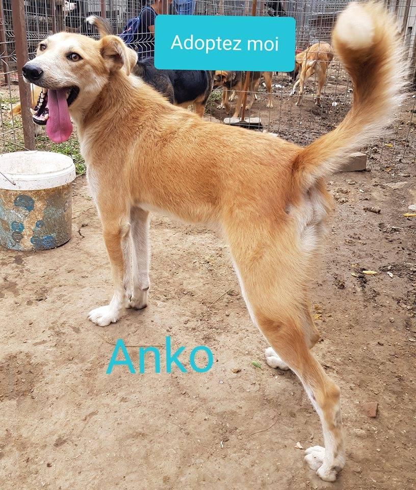 ANKO mâle, couleur crème, né en sept 2016 (chiot d'AKELA) - Famille trouvée par Lenuta dans un champ - parrainé par Mirko78 -R-SC-SOS 41856510