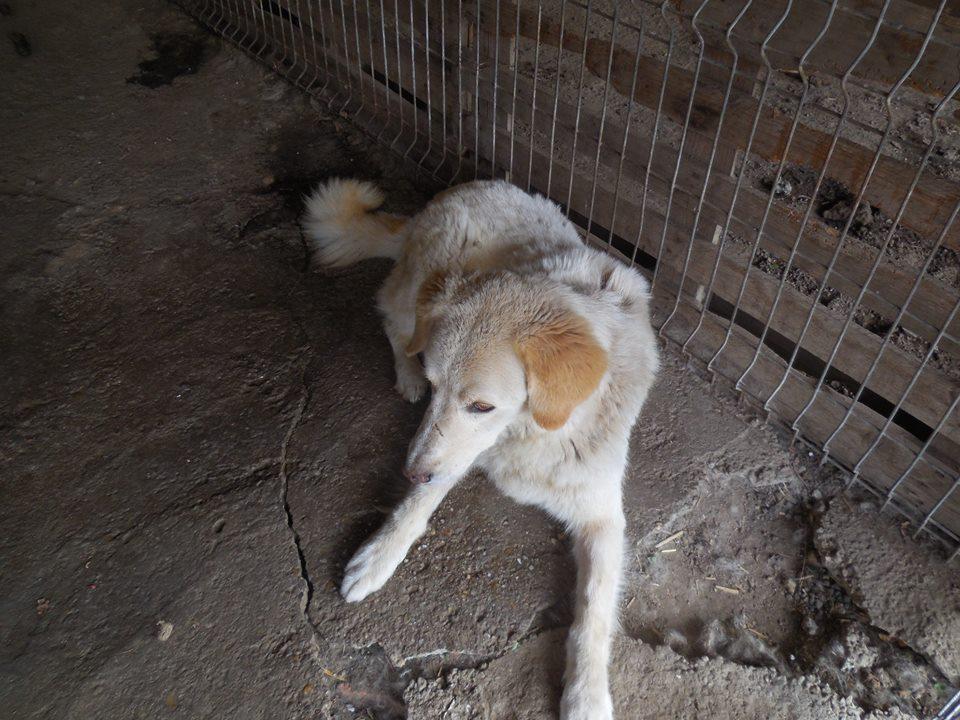 BALANUCH, mâle croisé berger sauvé de Pallady, né en 2009 parrainé par Nathalie Gamblin-SC-R-SOS- - Page 2 42757511