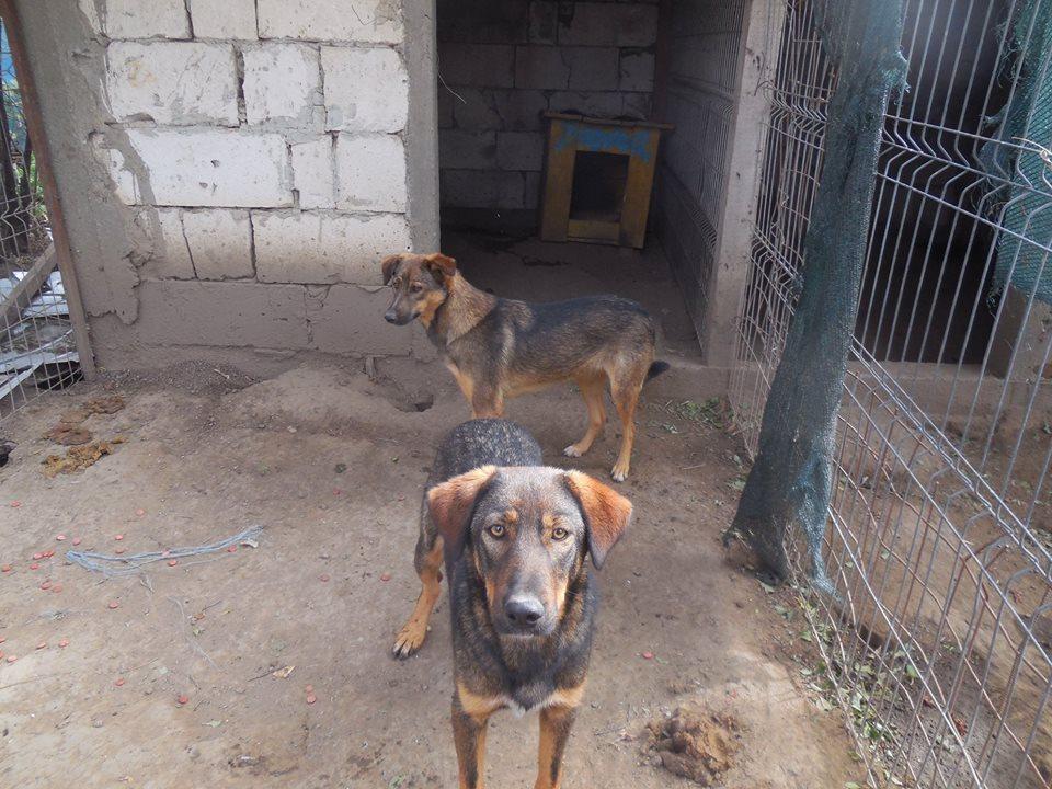 NAMI, croisé berger, soeur de Taliya et Ouzo, trouvée dans la rue en mai 2018- marrainée par Guyenne -R- 42762812