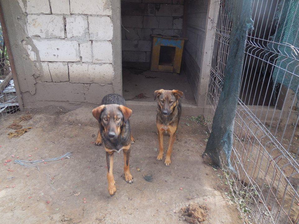 OUZO, né en sept 2017,  croisé berger, frère de Taliya et Nami, trouvé dans la rue en mai 2018 - Parrainé par Viviane -R- 42780511