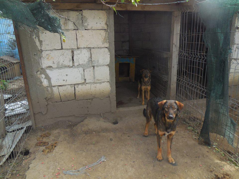 OUZO, né en sept 2017,  croisé berger, frère de Taliya et Nami, trouvé dans la rue en mai 2018 - Parrainé par Viviane -R- 42806412