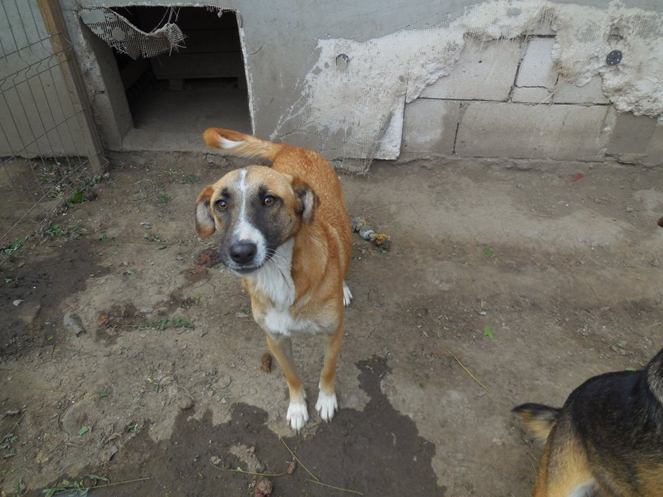 CHOREA, née en sept 2016 (chiot d'AKELA) - Famille sauvée par Lenuta dans un champ-parrainée par Mirko78-R-SOS-SC 42881010