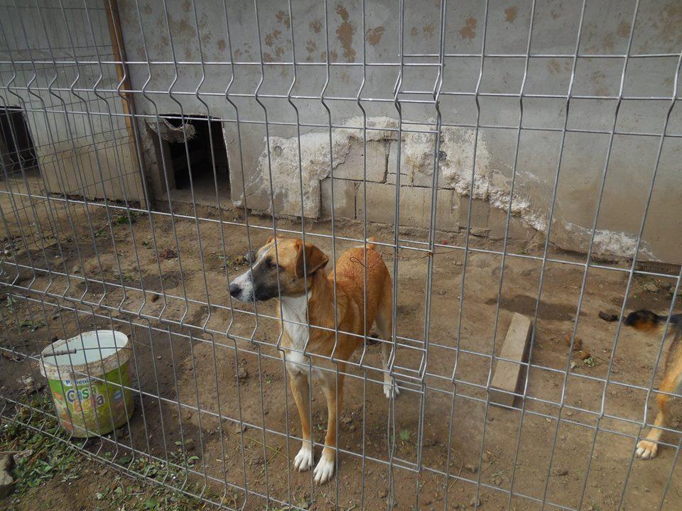 CHOREA, née en sept 2016 (chiot d'AKELA) - Famille sauvée par Lenuta dans un champ-parrainée par Mirko78-R-SOS-SC 42947411