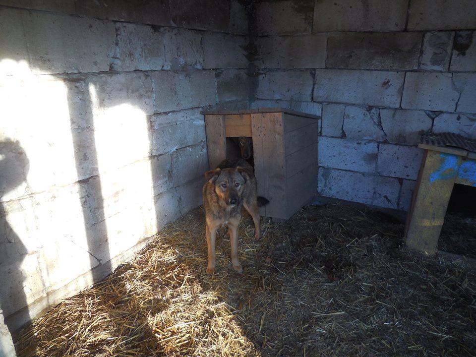 NAMI, croisé berger, soeur de Taliya et Ouzo, trouvée dans la rue en mai 2018- marrainée par Guyenne -R- 50221110