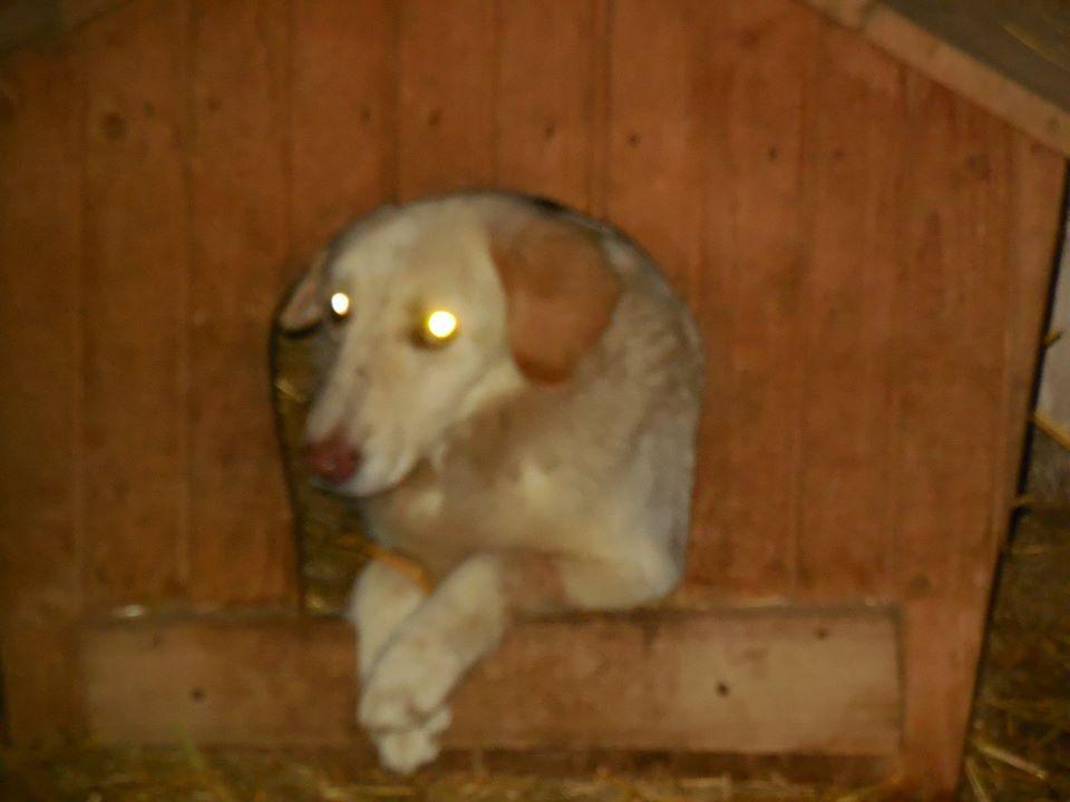 BALANUCH, mâle croisé berger sauvé de Pallady, né en 2009 parrainé par Nathalie Gamblin-SC-R-SOS- - Page 2 50404410