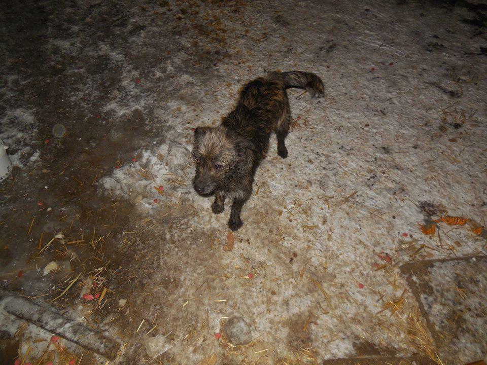 PATCH, femelle bringée née en Juillet 2017, trouvée dans un champ- Parrainée par Jumeca R-SC-SOS- 50530610