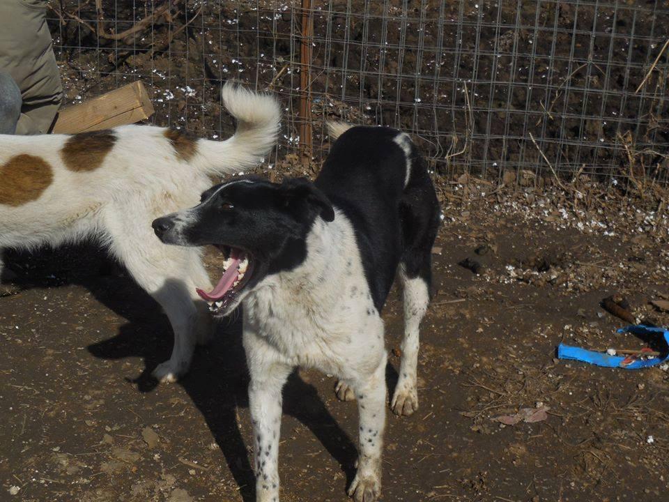 GAYA- femelle noire et blanche née en 2013- parrainée par Skara - SC-SOS-R- - Page 4 52833710