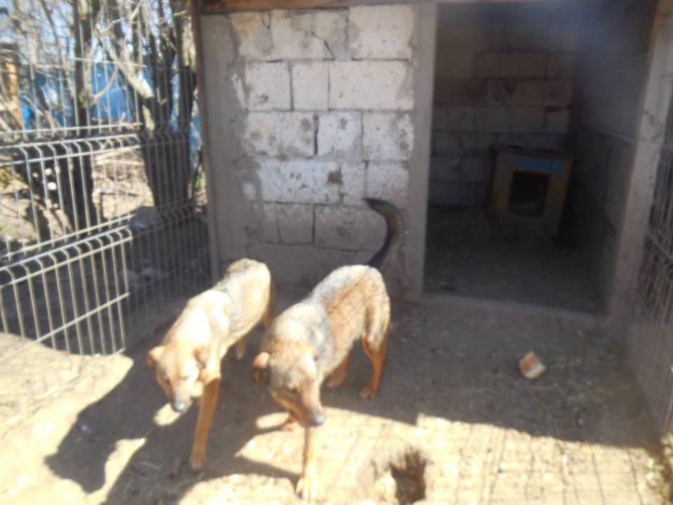 NAMI, croisé berger, soeur de Taliya et Ouzo, trouvée dans la rue en mai 2018- marrainée par Guyenne -R- 53080010