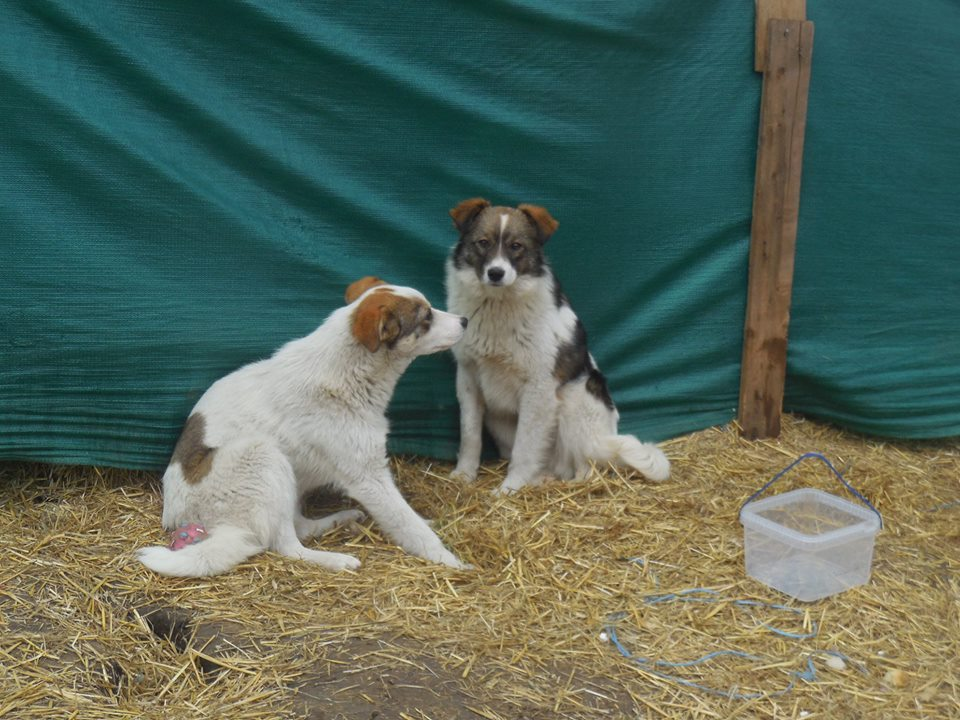 NUGGETS -  né 15/04/2018 (chiot de Wally) - marrainé par Patricia  en FA chez Nancy en Belgique -R-SOS 53899612