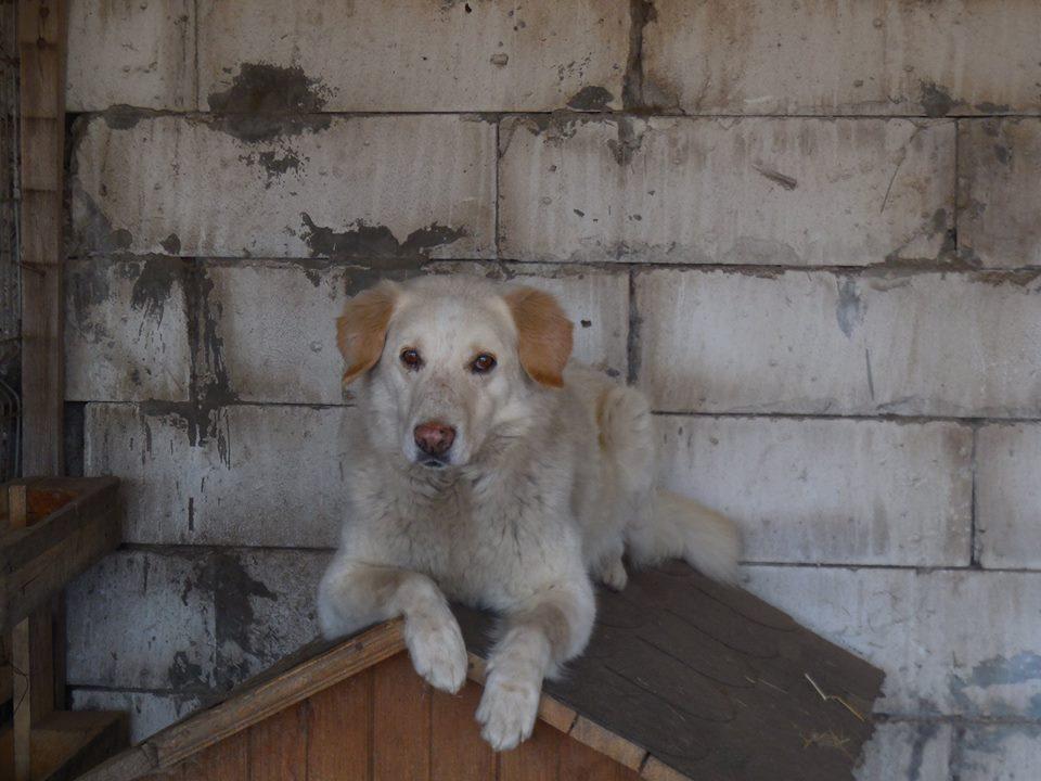 BALANUCH, mâle croisé berger sauvé de Pallady, né en 2009 parrainé par Nathalie Gamblin-SC-R-SOS- - Page 2 54353411