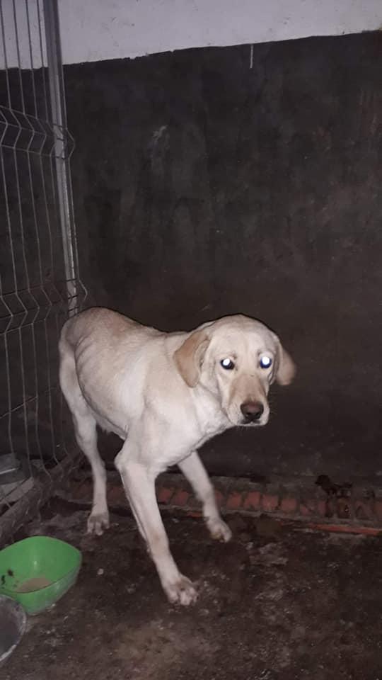 ELINA, femelle née en 2016, type Labrador sortie de l'équarrissage le 10 Avril- marrainée par Roxinette -R-SC-SOS 56652910