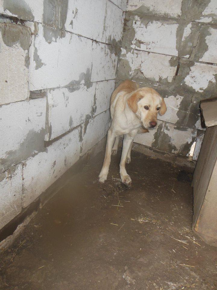 ELINA, femelle née en 2016, type Labrador sortie de l'équarrissage le 10 Avril- marrainée par Roxinette -R-SC-SOS 56781210