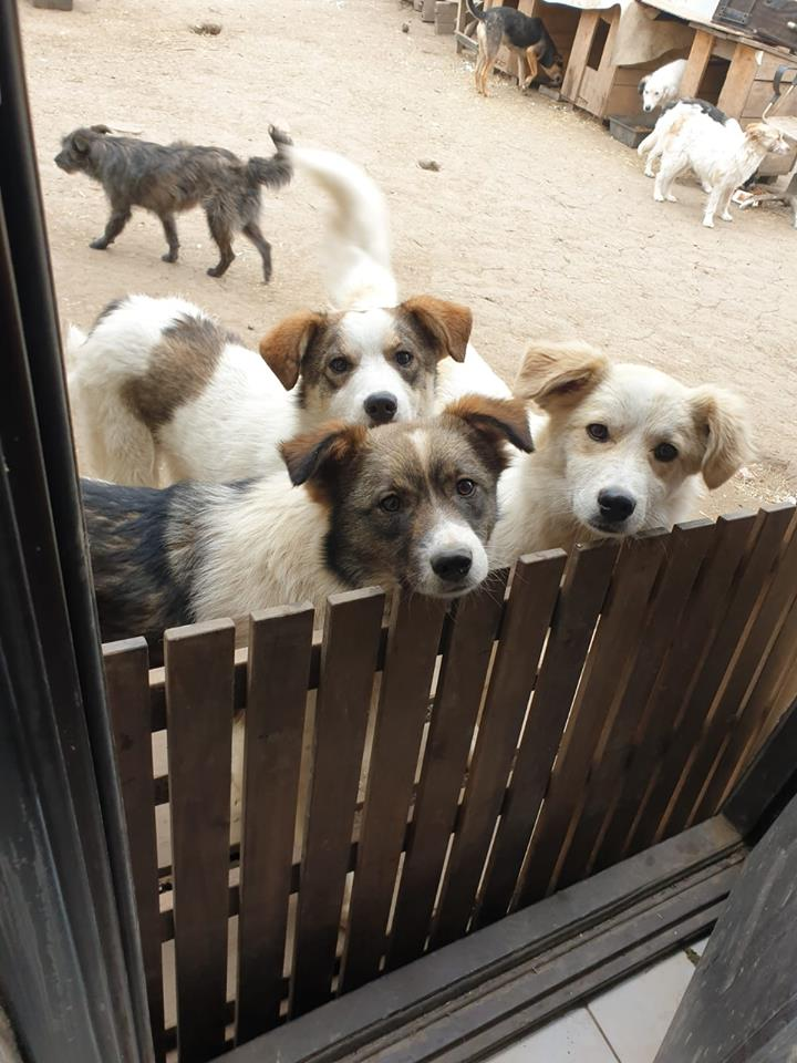 NUGGETS -  né 15/04/2018 (chiot de Wally) - marrainé par Patricia  en FA chez Nancy en Belgique -R-SOS 56811311
