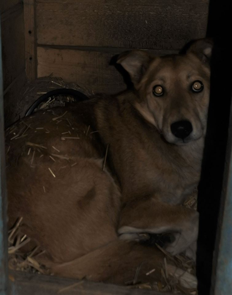 INAYA, femelle berger née en 2014 sauvée de l'equarrissage pour Noel - marrainé par Réglisse -  56866413