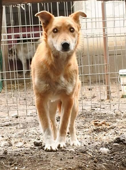 INAYA, femelle berger née en 2014 sauvée de l'equarrissage pour Noel - marrainé par Réglisse -  56872411
