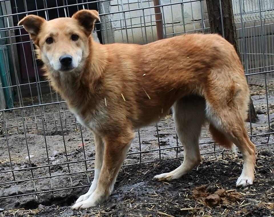 INAYA, femelle berger née en 2014 sauvée de l'equarrissage pour Noel - marrainé par Réglisse -  56874412