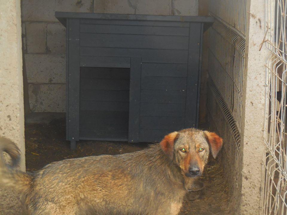 OUZO, né en sept 2017,  croisé berger, frère de Taliya et Nami, trouvé dans la rue en mai 2018 - Parrainé par Viviane -R- 56887110