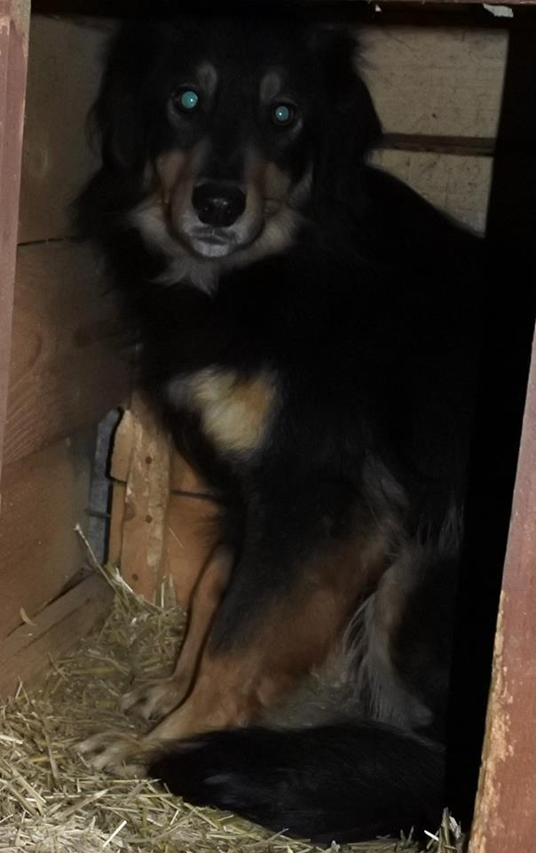 BACCARAT, mâle né en 2014, race commune noir et feu, sauvé en mars 2017 - parrainé par Toffee - R- 56904910