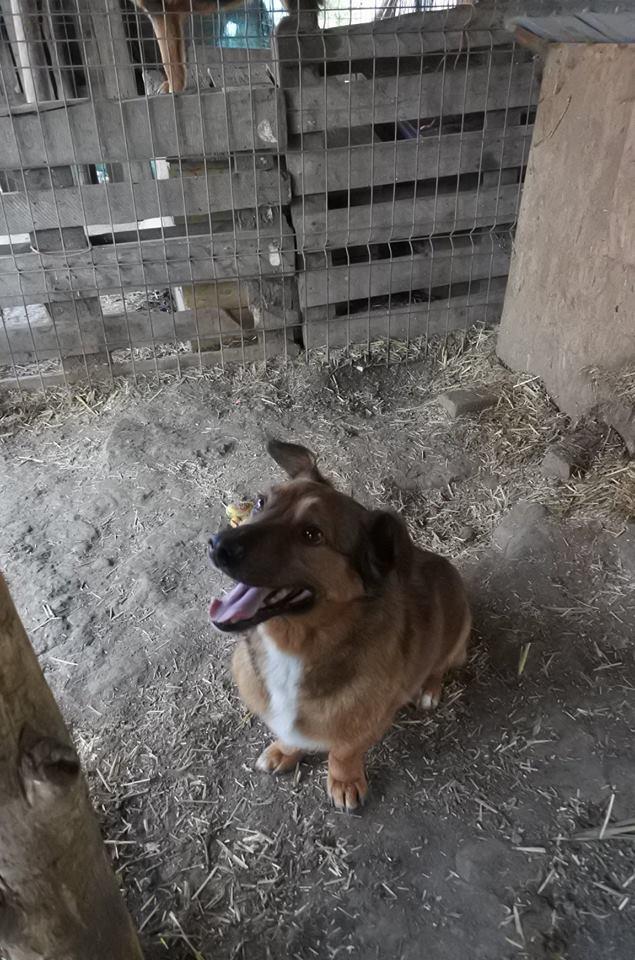 NOUKI , né en 2015 sauvé de l'équarrissage de Bragadiru en Déc 2017- Parrainé par Estelle Vds-R-SC-SOS 56907711